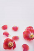 Photo pink tulips and petals scattered on white background