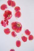 Fotografie pohled na tulipány a okvětní lístky roztroušené na bílém pozadí