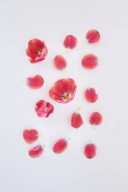 Top view of pink tulips and petals scattered on white background stock vector