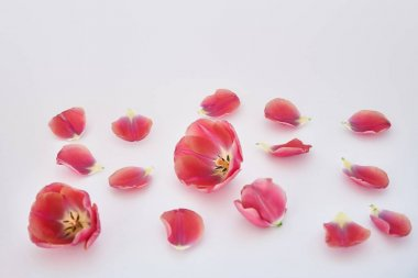 Pink tulips and petals scattered on white background stock vector