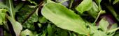 Horní pohled na zeleň a salátové listy, panoramatický záběr