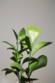 grüne Pflanze mit frischen Blättern in der Nähe der grauen Wand