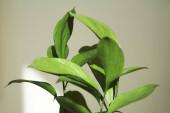 a zöld növény szelektív fókusza friss levelekkel