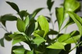 selektivní zaměření čerstvých zelených listů doma