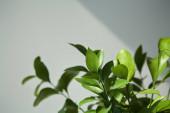 selektivní zaměření čerstvých listů doma