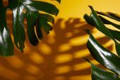 tropické zelené listy na žlutém pozadí se stínem