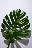 fresh tropical green leaf on white background with shadow