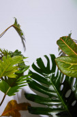 čerstvé tropické zelené listy na bílém pozadí se stínem