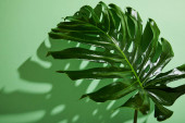 fresh tropical leaf on green background with shadow