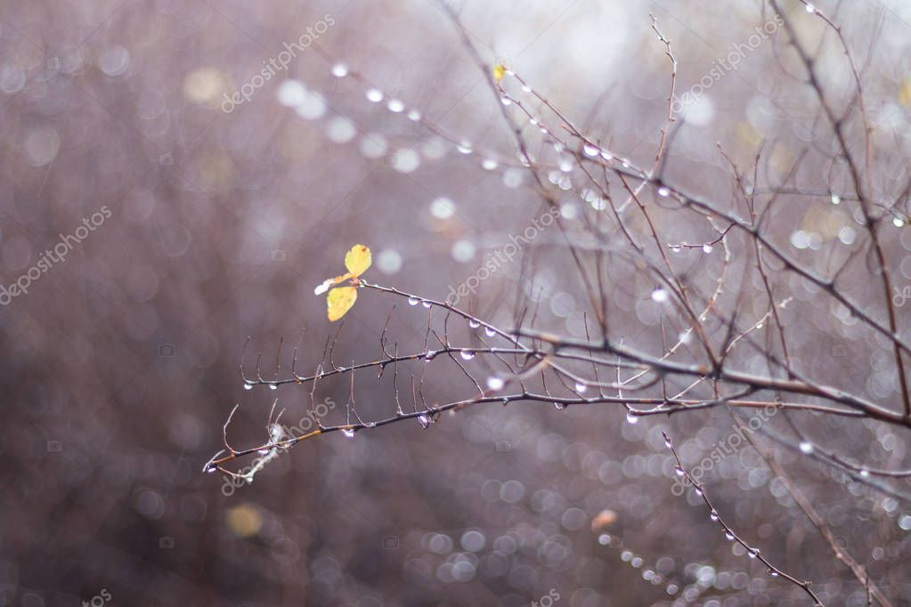 Lonely yellow leaves on autumn bare branches with raindrops with blurred background. Autumn melancholy rain, cool weather. Water drops shine on the bush branches.