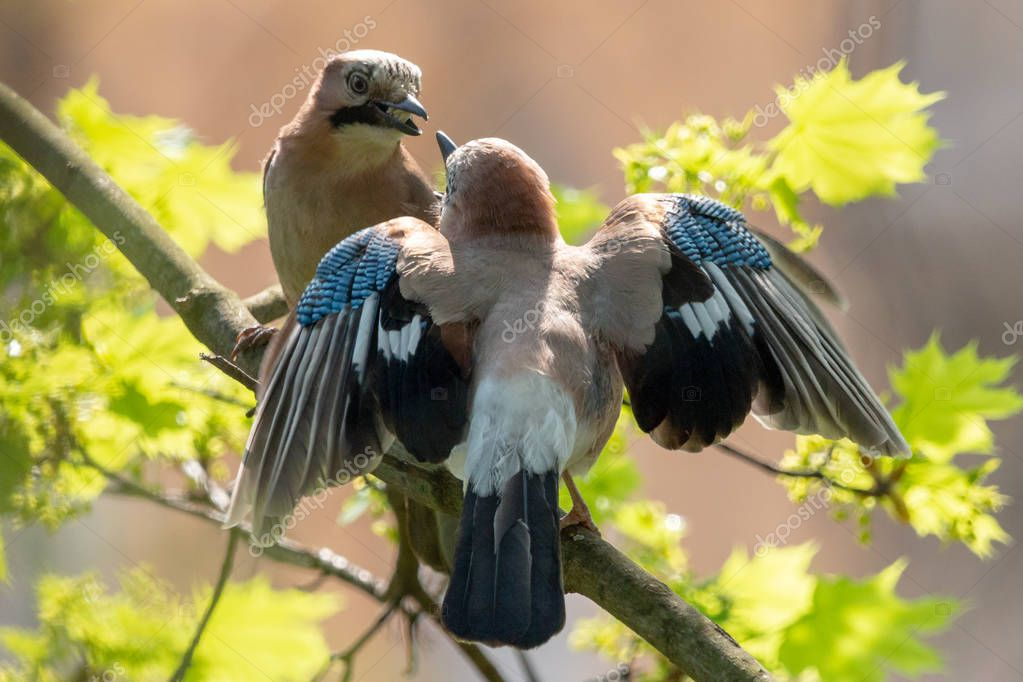 Eurasian jays mating habit. Courtship ritual of pair of jays: the male jay provides food to the female. The Eurasian jay (Garrulus glandarius) has pinkish-grey to reddish-brown upperparts with bright blue wing patch.