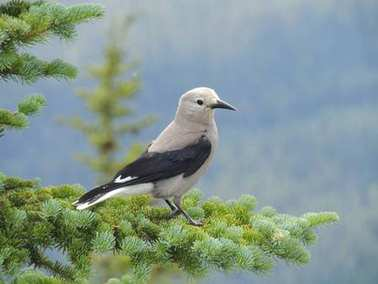 A Clark's nutcracker (Nucifraga columbiana), sometimes referred to as Clark's crow or woodpecker crow, a passerine bird in the family Corvidae, seen Hiking Lake Louise, Banff National Park, Canada