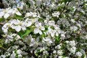 Jarní květiny kvetoucí jarní jabloně - detailní pohled makro rozostření, pastelové tóny. Jarní krajina s jarní apple květy kvetoucí v jižním Jordánsku, Utah.