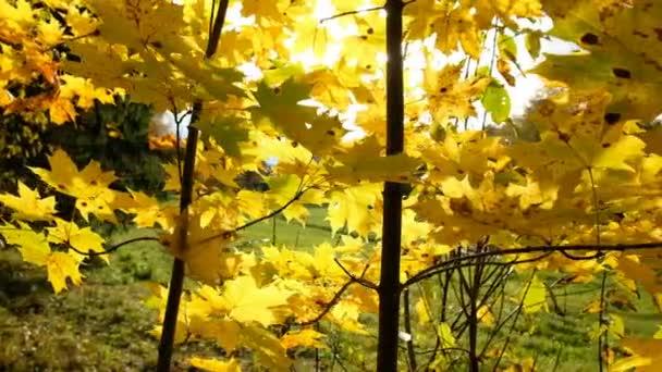 Javorové listy na větvích v slunci