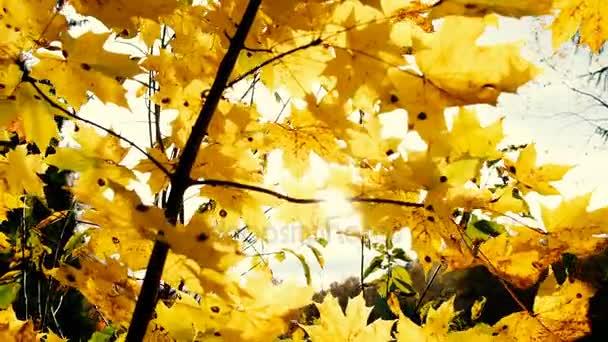 Žluté javorové listy na větvích v paprscích slunce, ve větru