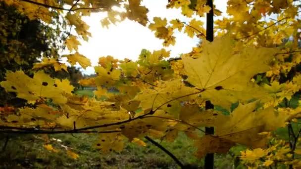 Žluté javorové listy na podzim a oslepující sluneční paprsky