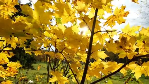 Foglie di acero giallo in autunno e i raggi del sole accecante