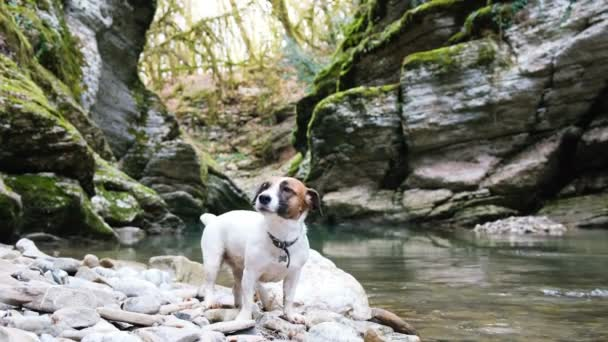 A cute dog jack russell terrier sits in a canyon by the river, 4k.