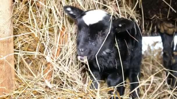 Kleines schwarzes Lamm kaut Heu in Nahaufnahme, 4k