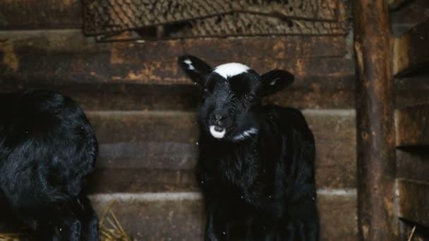 kleines schwarzes Lamm, das in der Krippe steht und in die Kamera schaut, 4k