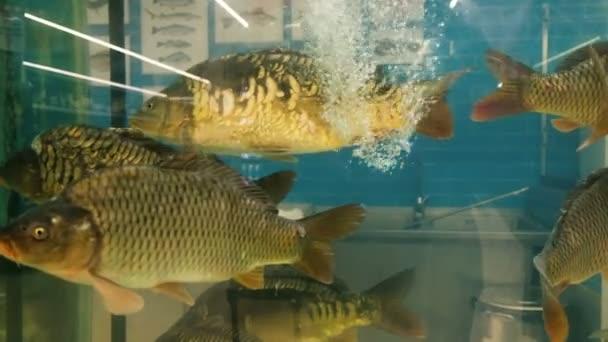 Ponty hal úszás egy akvárium a bolt eladó