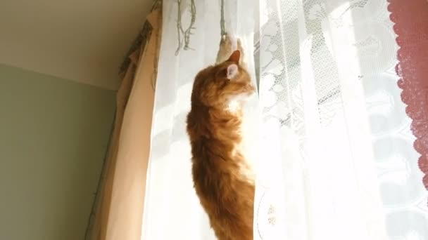 Red cat hanging on curtain and falling down