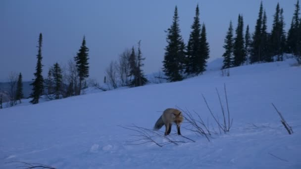 concentrated fox walks along white snow and stops hunting