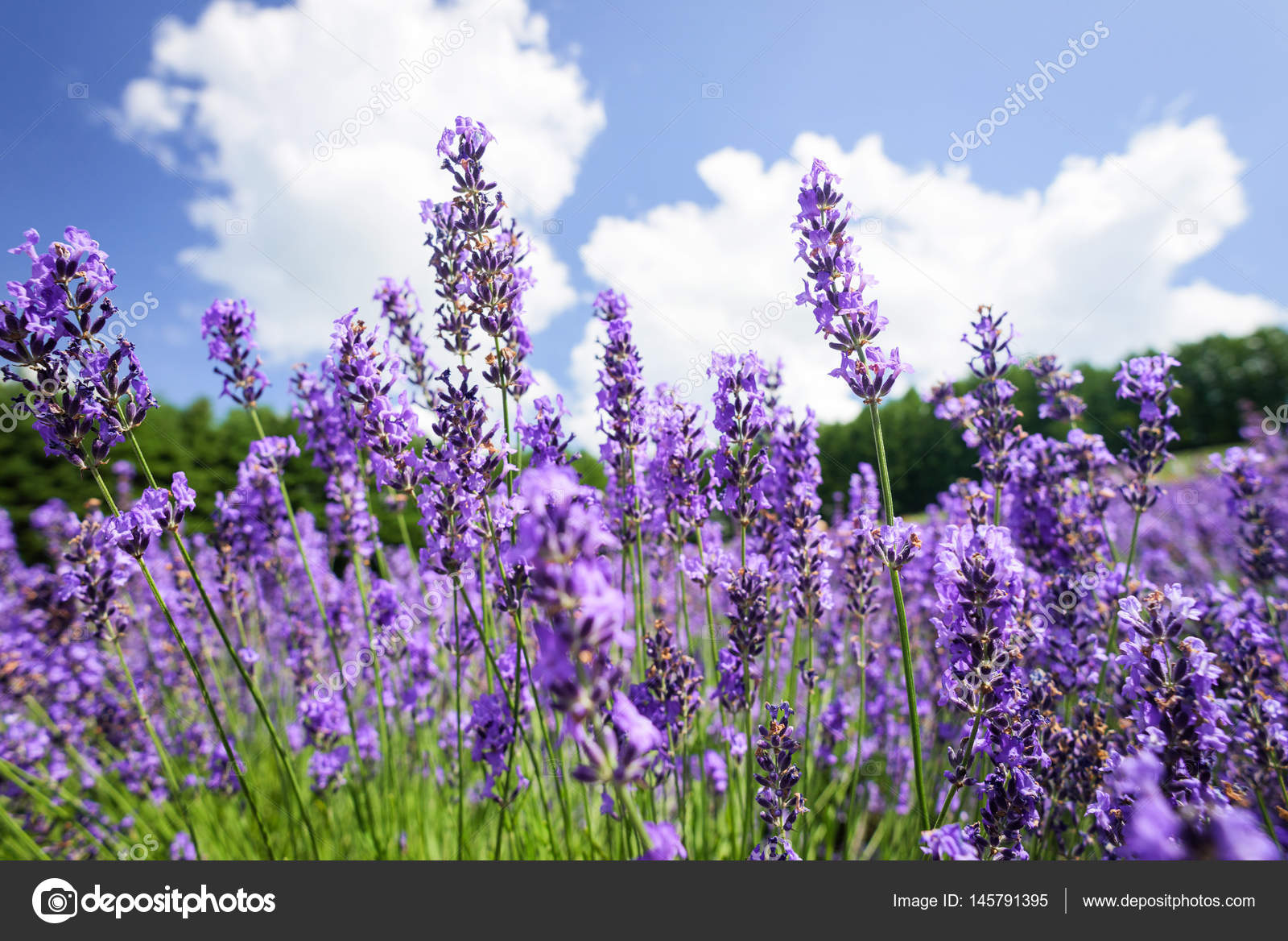 Beautiful lavender flowers stock photo norgallery 145791395 beautiful lavender flowers blossom in the garden photo by norgallery izmirmasajfo