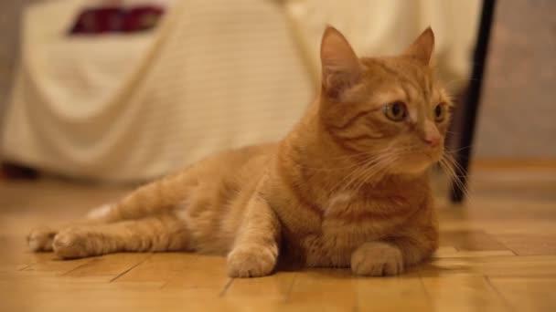Die rote Katze liegt auf dem Boden und springt erschrocken auf. Lustige Tiere. Tierischer Instinkt.