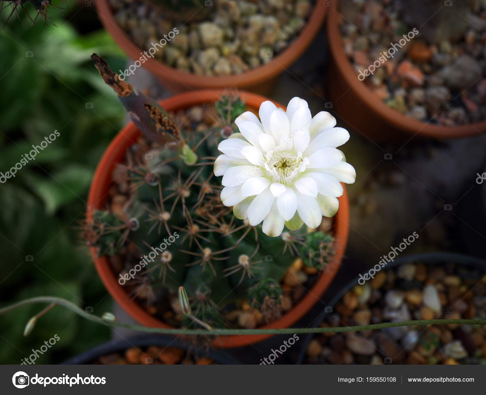 White Cactus Flower From Top View Stock Photo Ayakochunhotmail