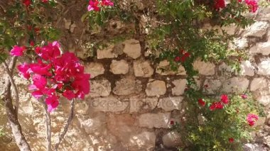 Flowers Clinging to Ancient Stone Wall in Israel
