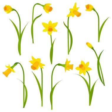 Narcissus Set on white