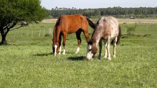 koně pasoucí se v poli