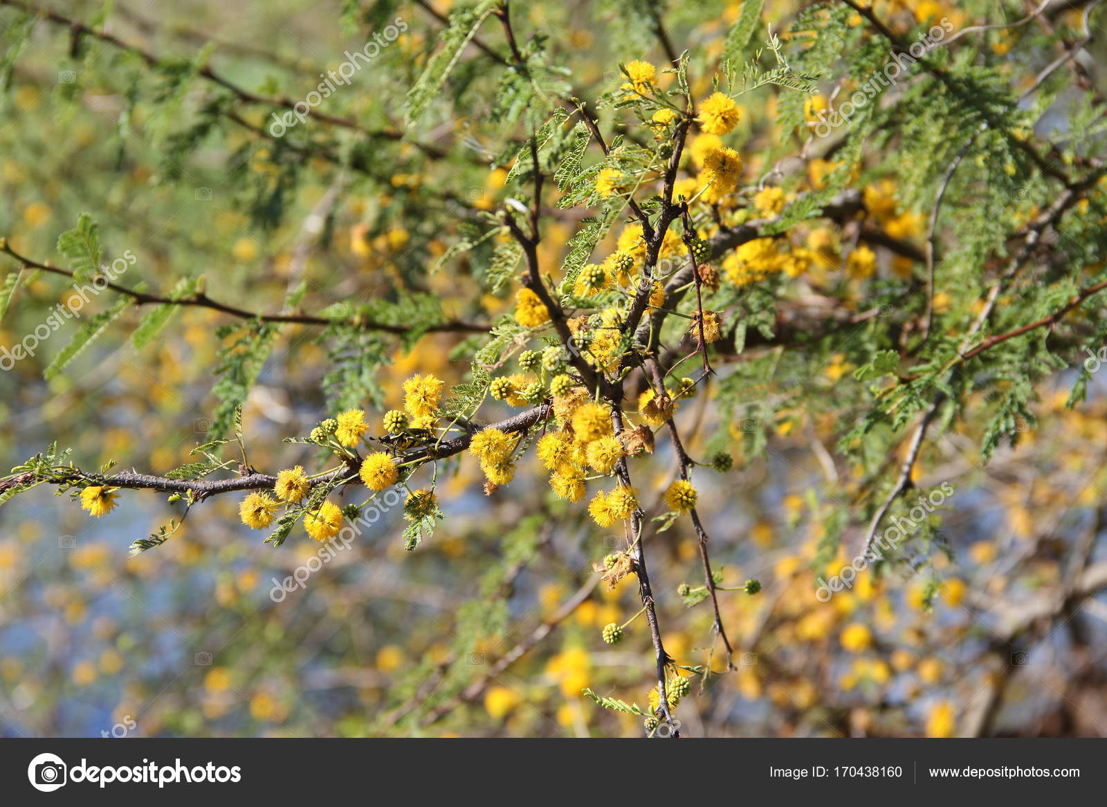 Yellow Flowered Acacia Stock Photo Gabrielabertolini 170438160