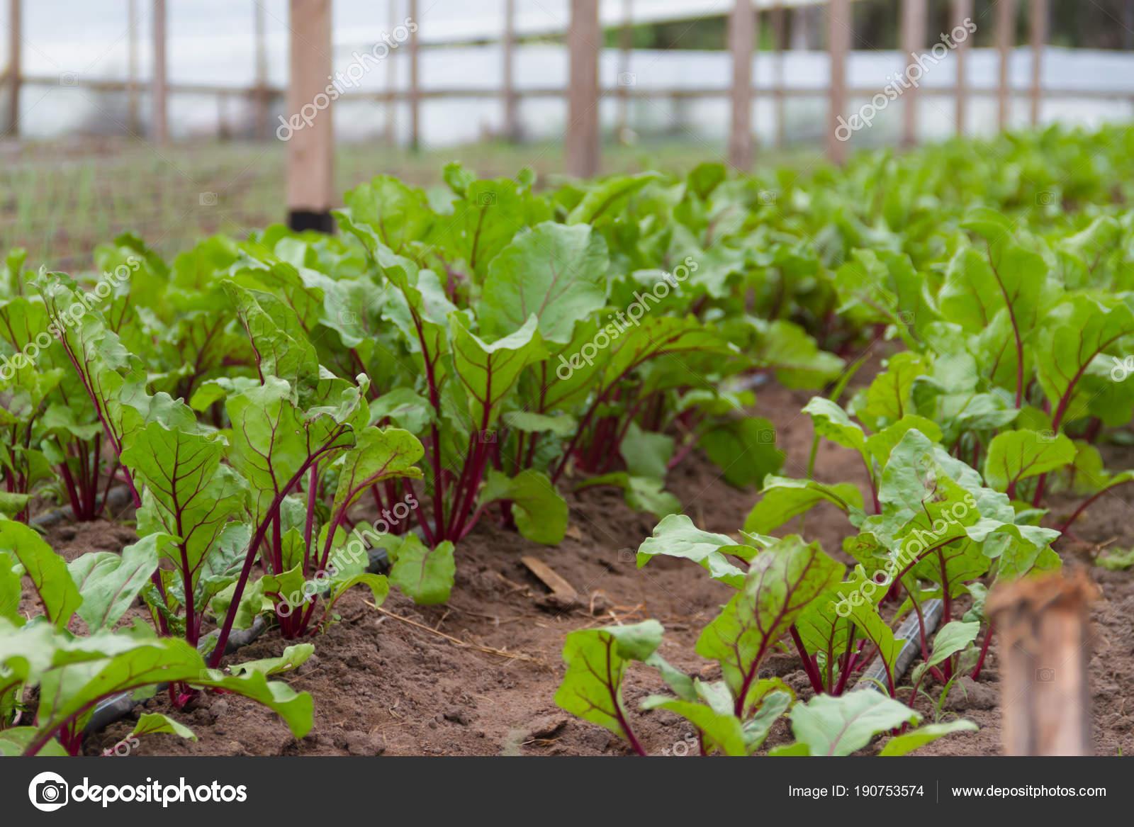 Betterave Planter Dans Serre Jardin Organique — Photographie ...