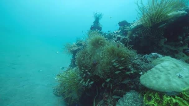 Tengeri anemone és zöld toll csillag crinoidok korallok halakkal úszás közelében.