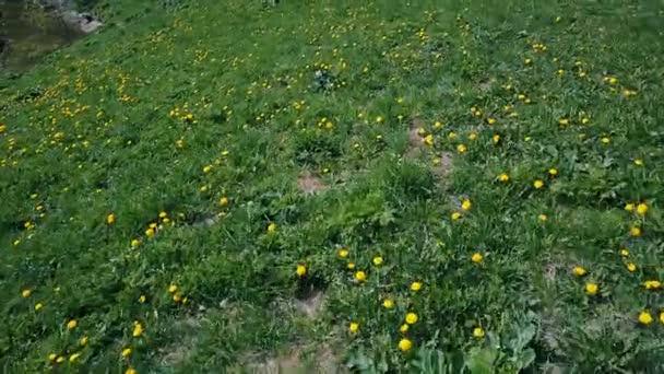 Let nad zelenou louku žluté pampelišky v létě 7