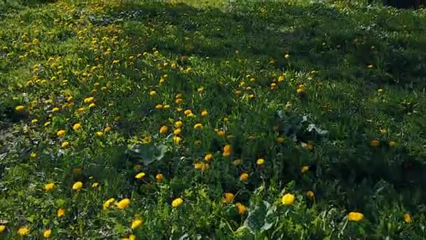 Let nad zelenou louku žluté pampelišky v létě 12