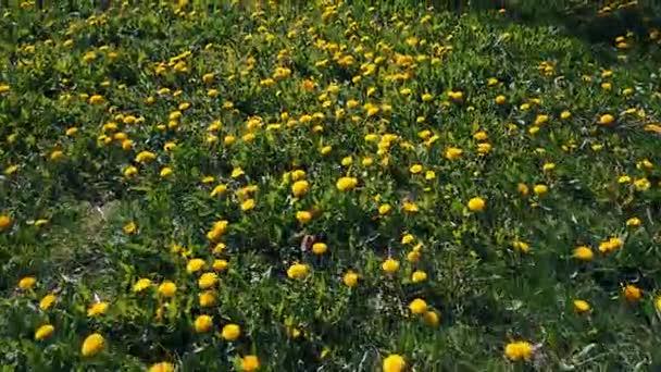Let nad zelenou louku žluté pampelišky v létě 14
