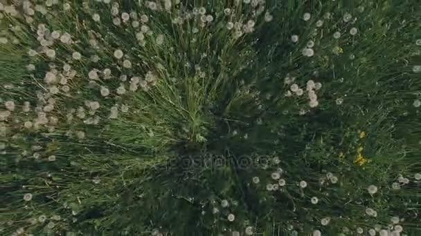 Letecký pohled na nadýchané foukání pampelišky v louce 25