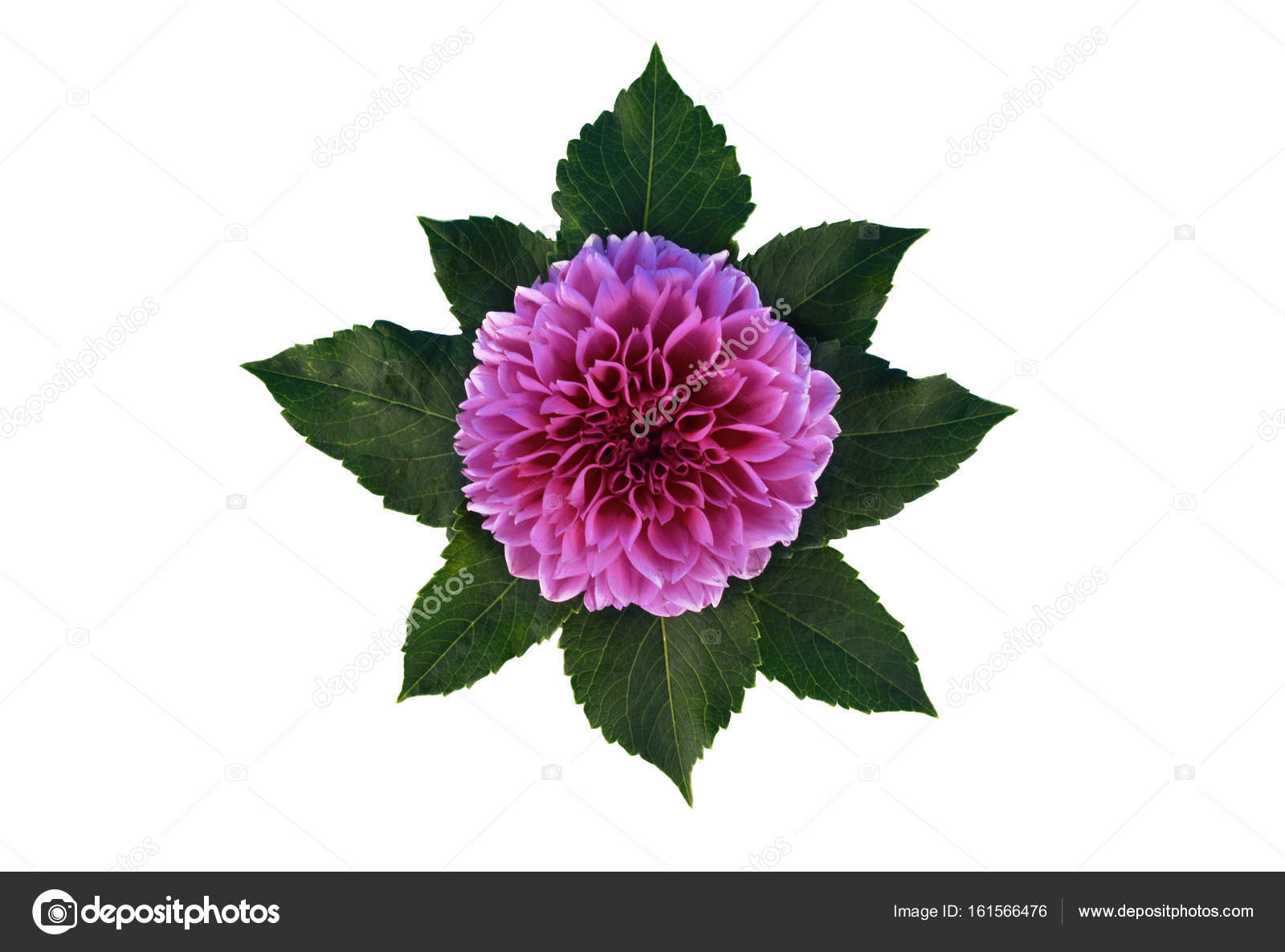 Dahlia flowers isolated on white background stock photo dahlia flowers and leaves isolated on white background with place for your text flat lay style photo by niekrasova izmirmasajfo