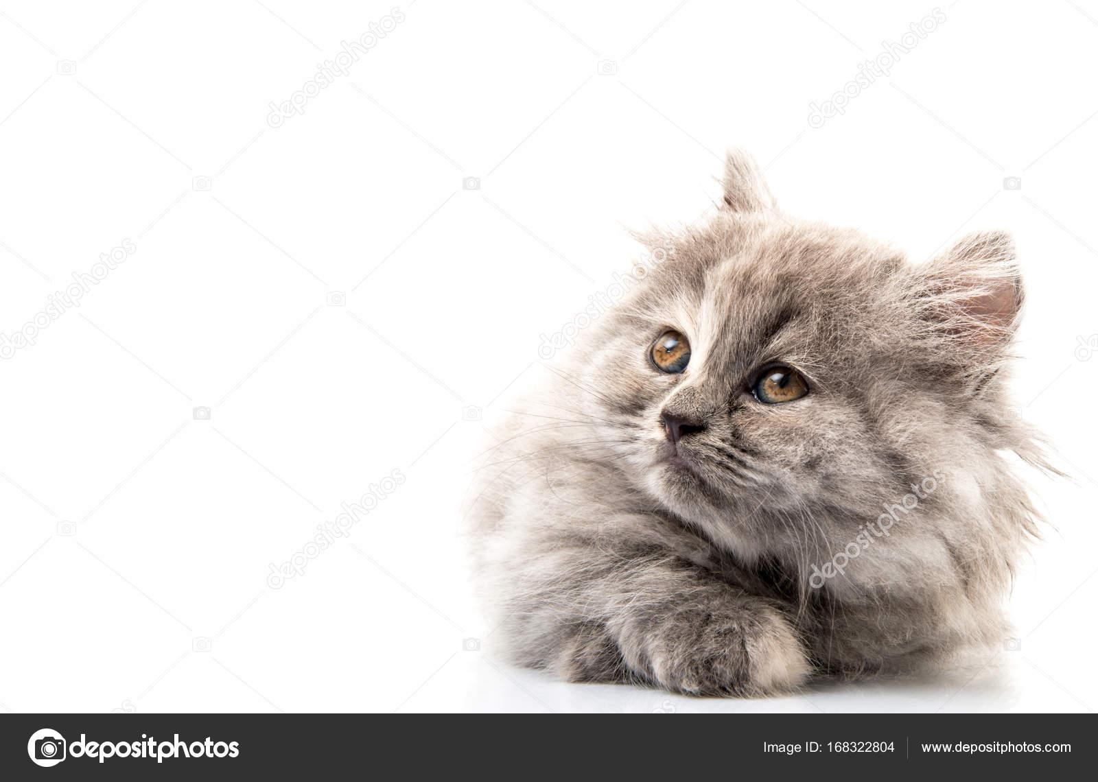 Télécharger noir poilu chatte