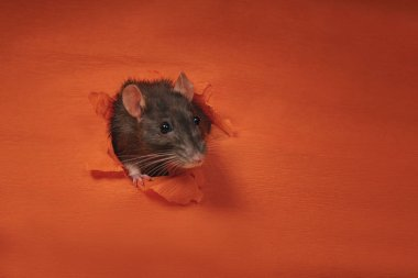 The concept of the celebration. Symbol of the year 2020. Year of the rat.Year of the rat. A gray rat climbs out of a paper wall to the outside. New Year.