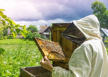 Beekeeper working with bees in beehive, showing the frame with
