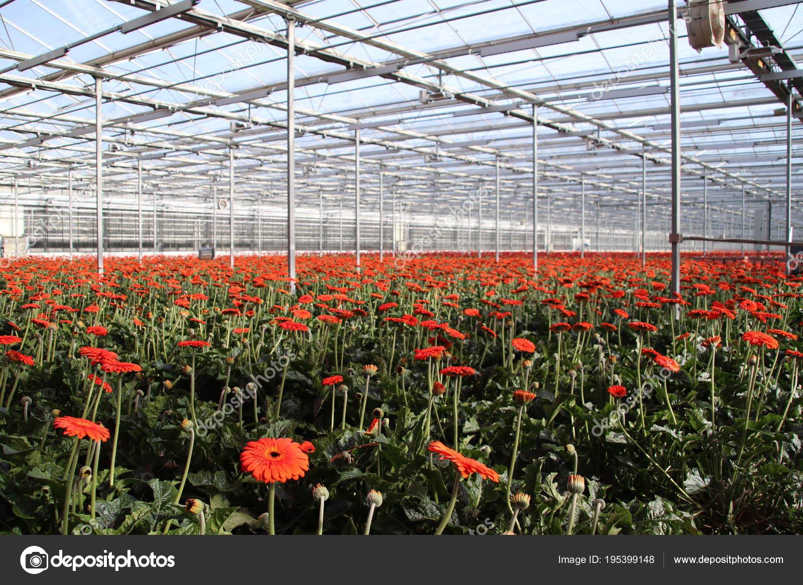 Field Gerbera Flowers Greenhouse Nieuwerkerk Aan Den Ijssel Red