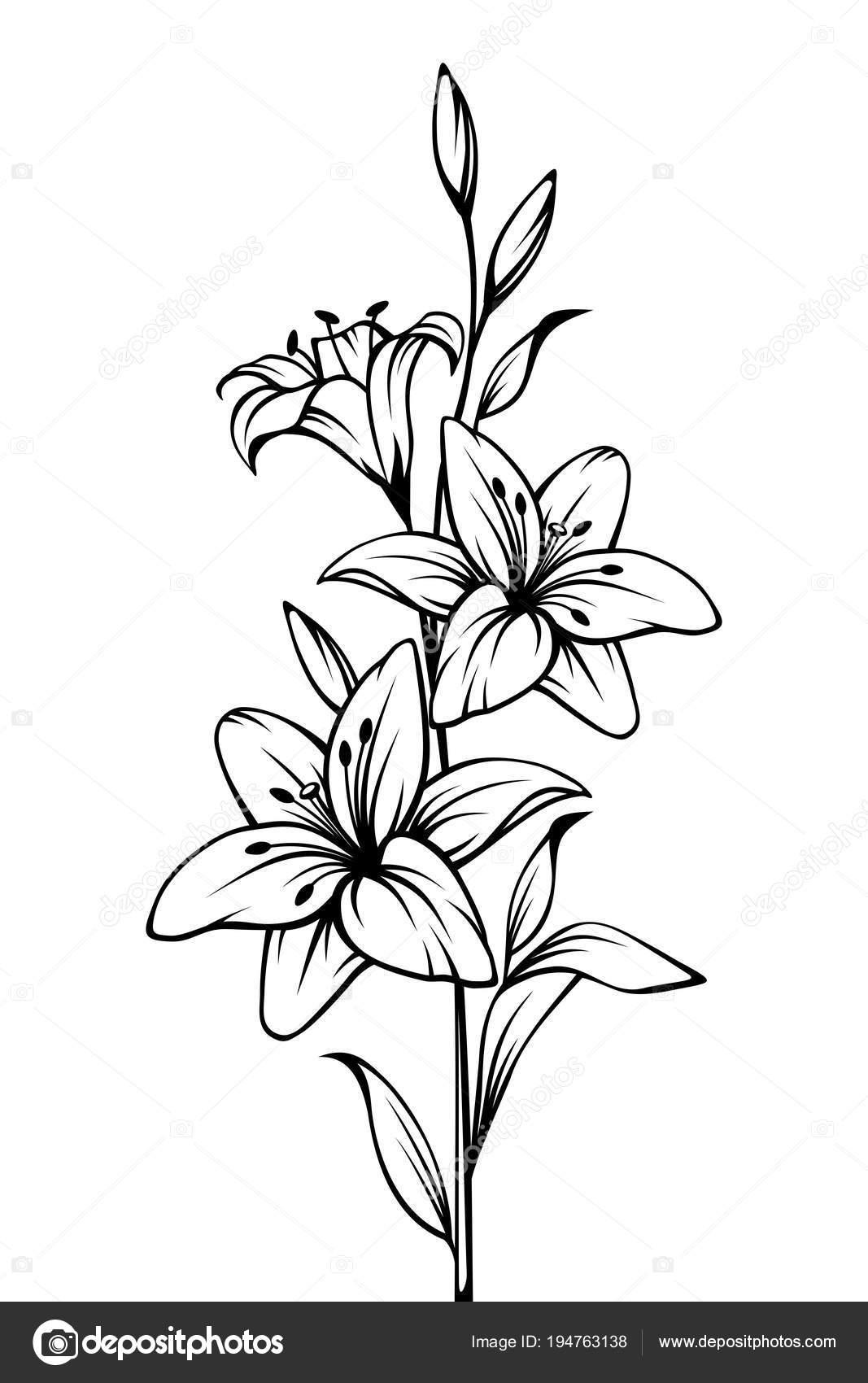 Contour Vector Noir Blanc Dessin Fleurs Lys Image Vectorielle