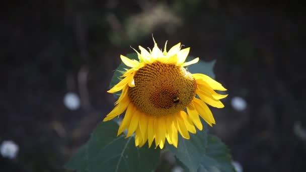 nagy hornet napraforgó virág nektarin gyűjtése
