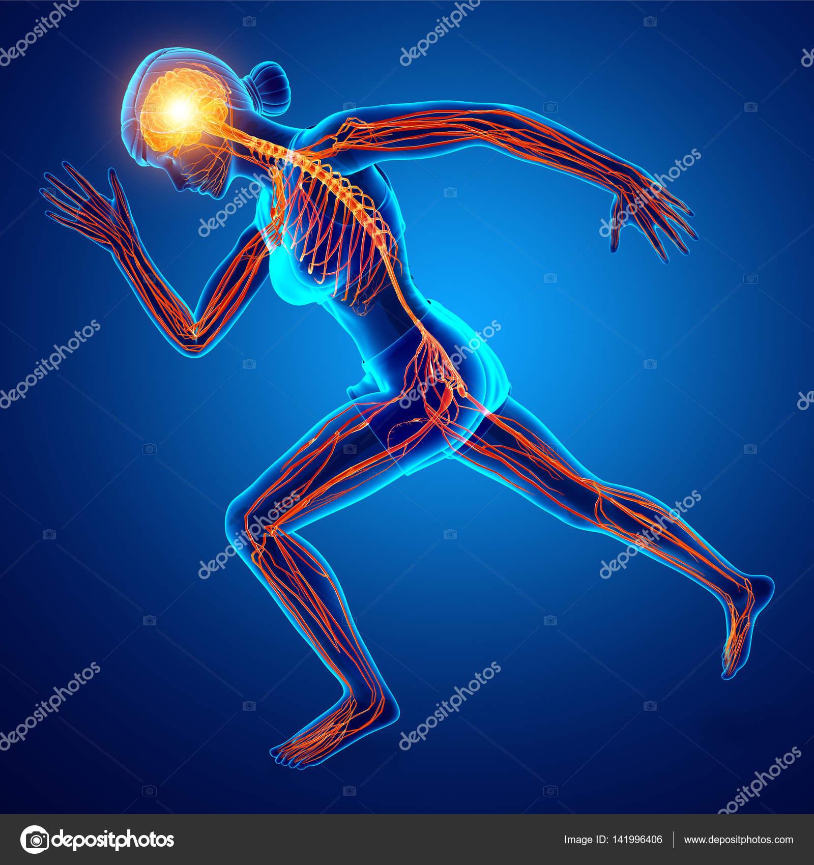 3D Render des menschlichen Nervensystems — Stockfoto © pixdesign123 ...
