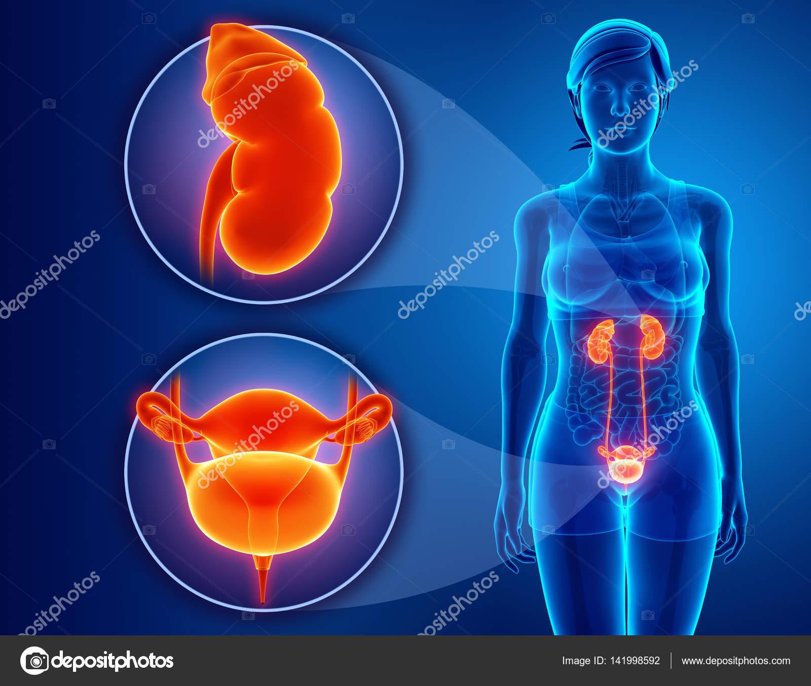 Anatomía del sistema renal femenino — Fotos de Stock © pixdesign123 ...