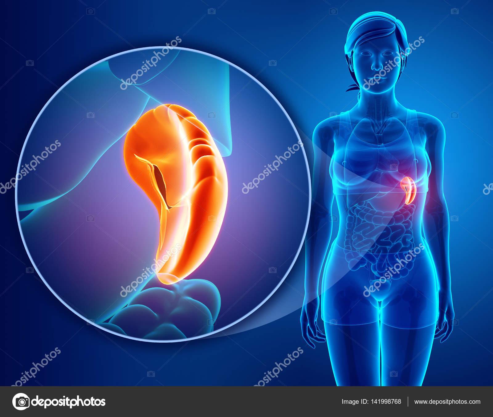 3D Rendering der menschlichen Milz Anatomie — Stockfoto ...